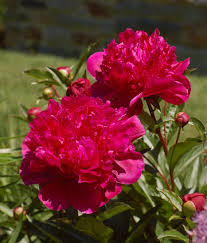 Photo of Primrose Hall Peonies Gift Card Review
