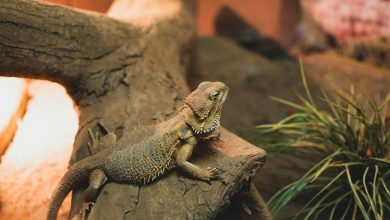 Photo of A Guide to Bearded Dragon Basic Housing Requirements